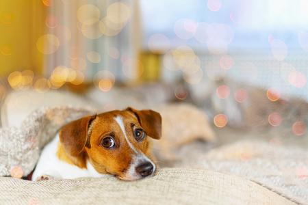 perro ute descansando debajo de la manta de lana en la madrugada día de Navidad. Foto de archivo