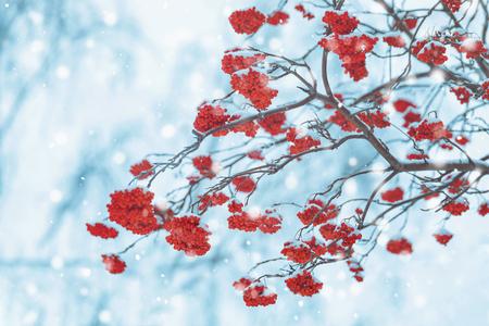 Takken met rowan berry vallende sneeuwvlokken. Zachte selectieve aandacht, vakantie achtergrond.