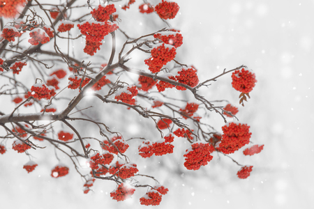 Branches with rowan berry covered by snowflakes. Soft selective focus, holiday background.