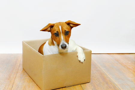 Cute sadness dog sit in the cardboard box.