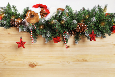 Cute dog with santa hat near Christmas tree branch. Holiday concept.