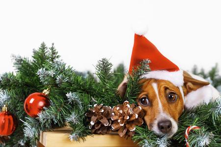 Chien mignon avec Bonnet de Noel près de branche d'arbre de Noël. Concept de vacances Banque d'images - 91362881