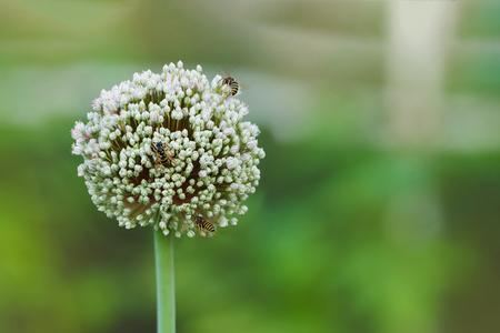 Three Bee on a big round garlic flower. Stock Photo