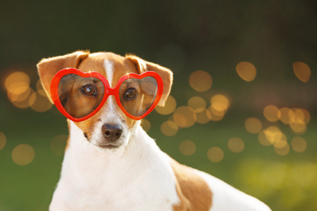 Cute jack russell dog in sunglasses, with hidden eyes, in summer park. Stock Photo