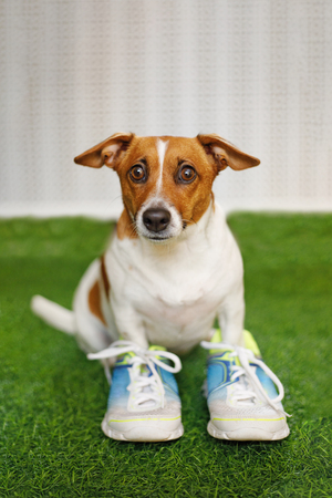 Jack russell dog in sneakers. Proper nutrition, healthy lifestyle concept.