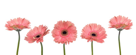 Gerbera flowers isolated on white background. Spring concept.