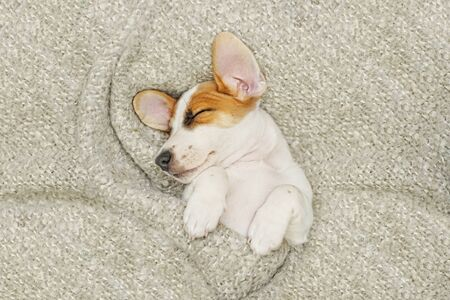 Cute  puppy jack russell dog resting or sleeping under wool blanket. Foto de archivo - 128853897