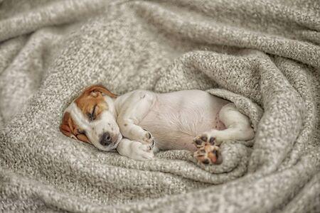 Cute  puppy jack russell dog resting or sleeping under wool blanket. Foto de archivo - 128853894