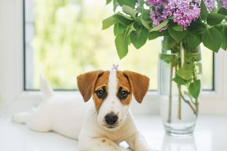 Cute puppy is sitting on the window with bouquet of lilac and waiting his owner. Foto de archivo - 128854012