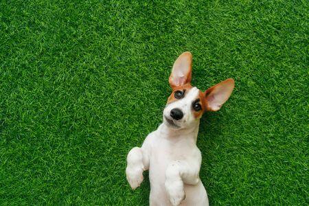Cute puppy jack russel terrier, lying on green grass. Foto de archivo - 128854020