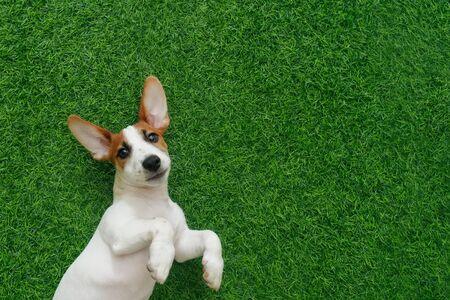Cute puppy jack russel terrier, lying on green grass. Foto de archivo - 128854018
