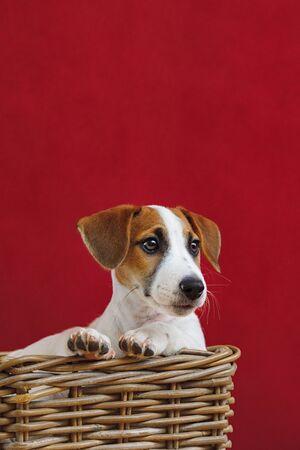 Cute Jack Russell Terrier puppy portrait. Foto de archivo - 128854044