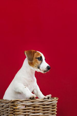 Cute Jack Russell Terrier puppy portrait. Foto de archivo - 128854043