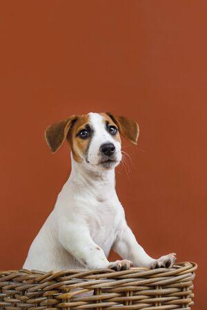 Cute Jack Russell Terrier puppy portrait. Foto de archivo - 128854042
