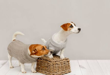 Portrait of cute dogs in knitted blouses, studio photo of Jack Russell puppy and his mom. Friendship, love, family concept. Foto de archivo - 128854047