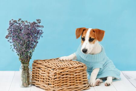 Jack Russell Terrier puppy sitting on the wooden floor on blue wall portrait. Foto de archivo - 128854056