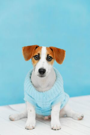 Jack Russell Terrier puppy sitting on the wooden floor on blue wall portrait. Foto de archivo - 128854061