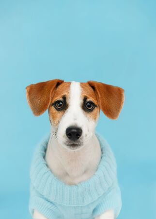 Jack Russell Terrier puppy sitting on the wooden floor on blue wall portrait. Фото со стока