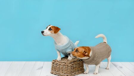 Portrait of cute dogs in knitted blouses, studio photo of Jack Russell puppy and his mom. Friendship, love, family concept. Foto de archivo - 128854069