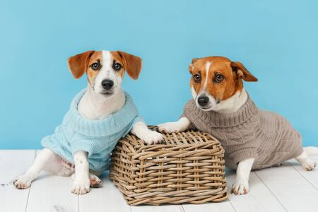 Portrait of cute dogs in knitted blouses, studio photo of Jack Russell puppy and his mom. Friendship, love, family concept. Foto de archivo - 128854068
