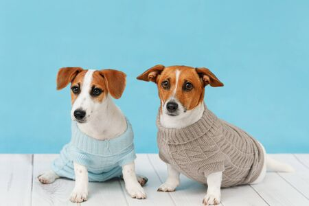 Portrait of cute dogs in knitted blouses, studio photo of Jack Russell puppy and his mom. Friendship, love, family concept. Foto de archivo - 128854073