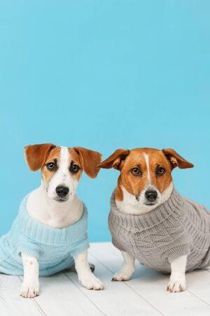 Portrait of cute dogs in knitted blouses, studio photo of Jack Russell puppy and his mom. Friendship, love, family concept. Foto de archivo - 128854076