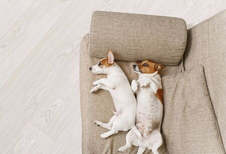 Two dogs of breed Jack Russell Terrier, resting on a beige sofa at home. Foto de archivo - 128854079