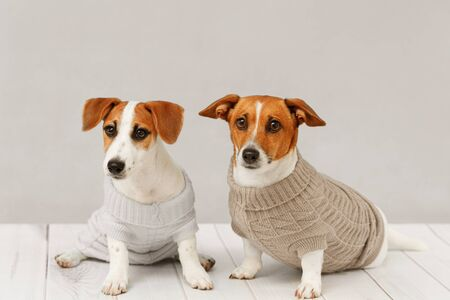 Portrait of cute dogs in knitted blouses, studio photo of Jack Russell puppy and his mom. Friendship, love, family concept. Foto de archivo - 128854078