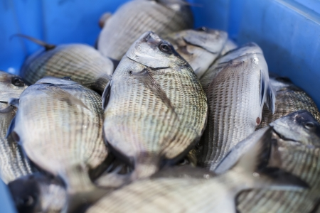Fresh fish recently arrived from the discharge port   Stock Photo - 18860313