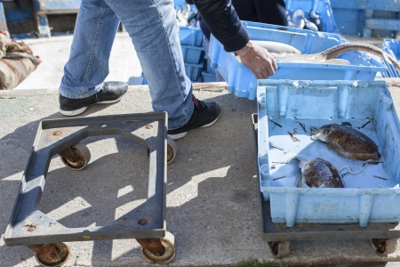 classifying: Classifying and organizing fresh fish at the ship for the auction market