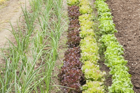 lettuces: Lettuces variation and onions cultivated at an orchard Stock Photo