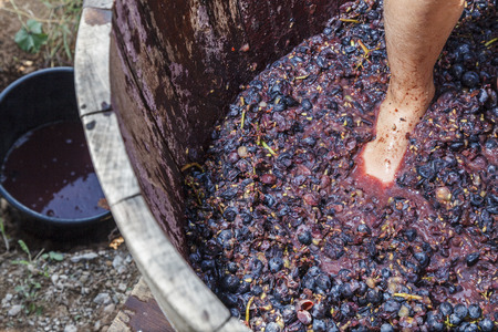 Pressing Grapes in the Traditional Grape Harvest photo