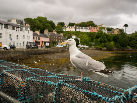 seagull on weir at Portree harbour, Scoland Imagens