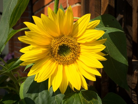 Closeup of a sunflower in fron of a brick wall
