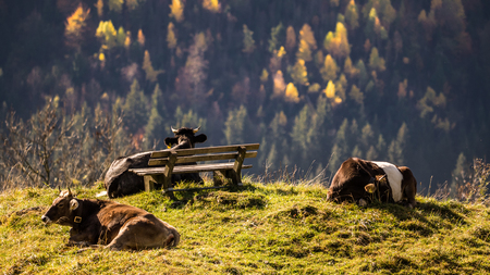 Cattle on a meadows in the bavarian alps near Bad Hindeland with a bench
