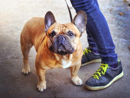 mujer con perro: electrónico francés joven fuerte y sano bulldog con el paseo principal en el parque