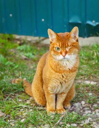 red haired one-eyed cat outdoor portrait