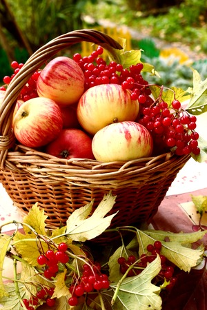 red ripe apples and viburnum berries on the autumn garden background