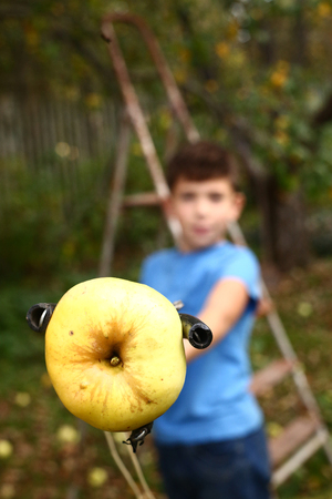 ladder  fence: preteen handsome boy pluck ripe apples from the tree with special device Stock Photo