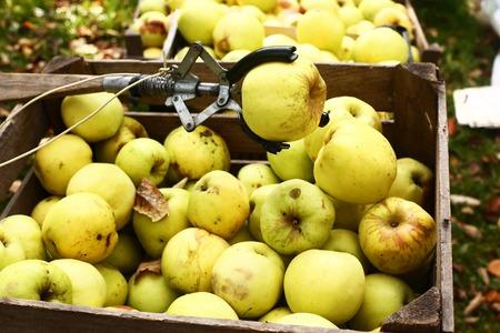 pluck: yellow  big apples and pluck stick autumn photo Stock Photo