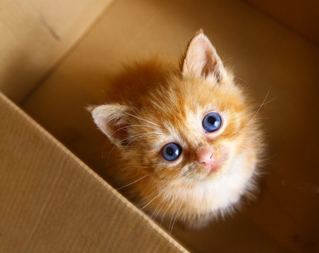 curiosity: red hair one month old little kitten in the box Stock Photo