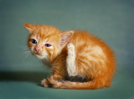 oreja: pelo rojo un mes de edad pequeño gatito