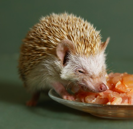 descendant: hungry  dwarfish hedgehog eating meat from the plate