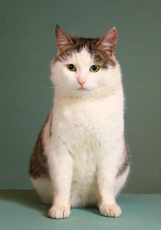 シベリア品種トム傲慢な猫テーブル座って全身にクローズ アップ portrain