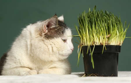 catnip: cat close up photo with green grass sprouts growing in plastic pot Stock Photo