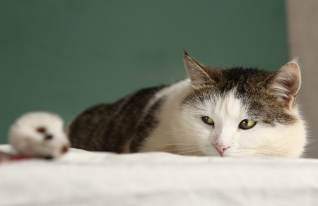 lazyness: fat siberian cat look at mouse close up portrait Stock Photo