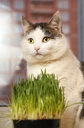 siberian breed cat close up portrait on the windowsill lay in cat bed and grass sprouts in the pot on background