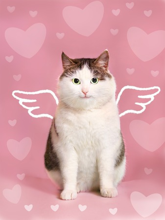 smiling cat: valentine card with fat smiling cat  with angel wings and heart frame on the pink background