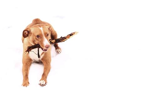 nariz roja: terrier de la nariz palo de masticar Gnau perro rojo en el fondo de la nieve