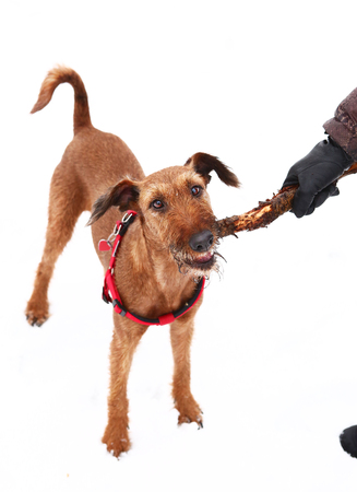 gnaw: red nose irish terrier dog gnaw chew stick play on the snow background